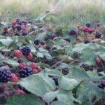 Autumn blackberries